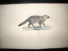 Saint Hilaire & Cuvier C1830 Folio Hand Colored Print. Civet